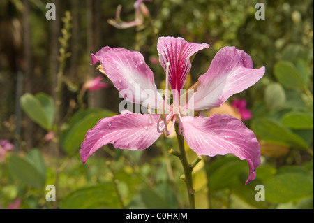Purple tree Orchid (Bauhinia purpurea) flower with water droplets Plant Nursery Forestry Department St. Lucia Windward - Stock Photo