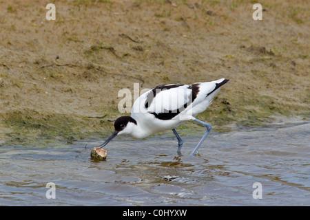 Avocet (Recurvirostra avosetta) adult bird with eggshell in water, Germany - Stock Photo