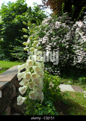 WHITE FOXGLOVE (DIGITALIS) FLOWER IN FULL BLOOM IN EARLY SUMMER  SHRUB 'DIPELTA FLORIBUNDA' IN BACKGROUND ENGLAND - Stock Photo