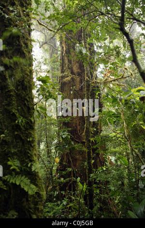 Dense cloud forest in Monteverde, Costa Rica. - Stock Photo