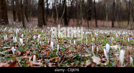 a field covered of crocus - Stock Photo
