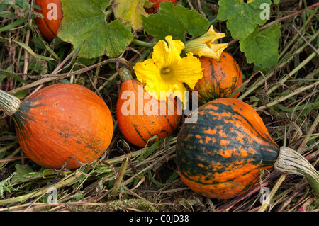 Red Kuri Squash (Cucurbita maxima Uchiki Kuri).Plant with fruit and flowers. - Stock Photo