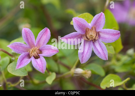 Clematis (Clematis Jolly Good), flowers. - Stock Photo