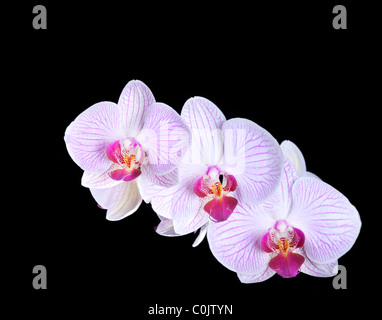 Phalaenopsis orchid trio against black background - Stock Photo