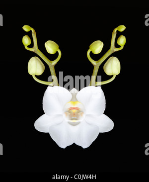 A Phalaenopsis White orchid on Black - Stock Photo