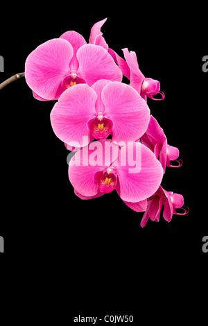 Pink Phalaenopsis orchids - Stock Photo