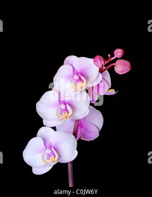 Closeup of Phalaenopsis orchid - Stock Photo