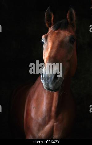 Bay Trakehner horse isolated on black background (low key) - Stock Photo