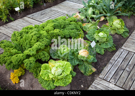 Specimens of different cabbage species growing at Oulu University Botanical Garden - Stock Photo
