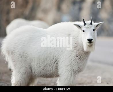 Mountain Goat, Jasper National Park, Alberta, Canada. - Stock Photo