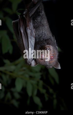 Black flying fox Queensland Australia - Stock Photo