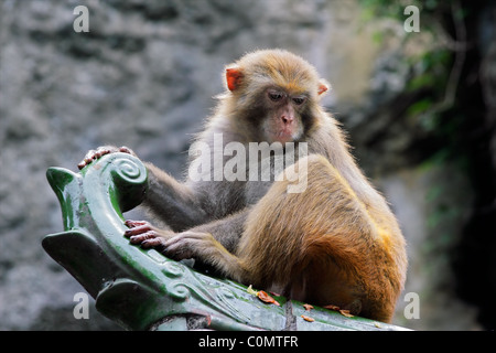 Rhesus macaque monkey (Macaca mulatta), southern China - Stock Photo