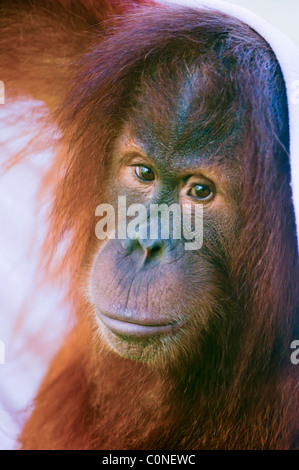 A Cute Orangutan playing with its favorite blanket. - Stock Photo