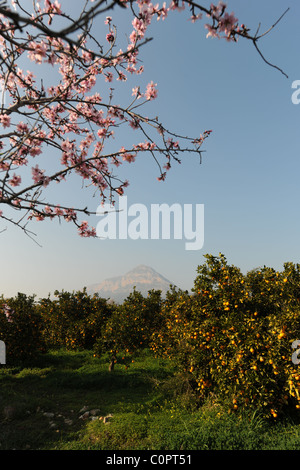 view to Montgo with orange orchard and almond tree blossom, Javea / Xabia, Alicante Province, Comunidad Valenciana, - Stock Photo