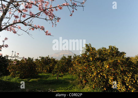 orange orchard & almond blossom in front of Montgo mountain, Javea / Xabia, Alicante Province, Comunidad Valenciana, - Stock Photo