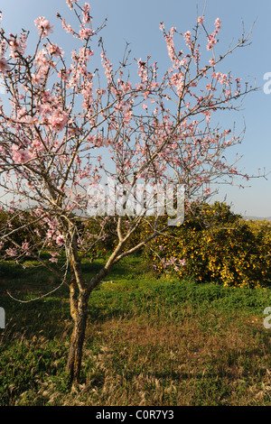 almond tree in blossom, with orange orchard behind,, Javea / Xabia, Alicante Province, Comunidad Valenciana, Spain - Stock Photo