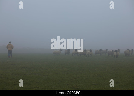 Man in a misty field with a flock of sheep - Stock Photo