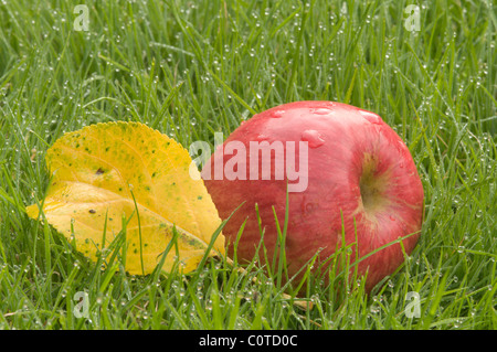 Red apple on grass with yellow apple leaf. Fallen from tree. Dew on grass. Windfall. Sussex, UK. September - Stock Photo