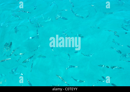 Fishes water surface. Cabrera island, National nature marine reserve, Mallorca Majorca Balearic isles Spain Mediterranean - Stock Photo