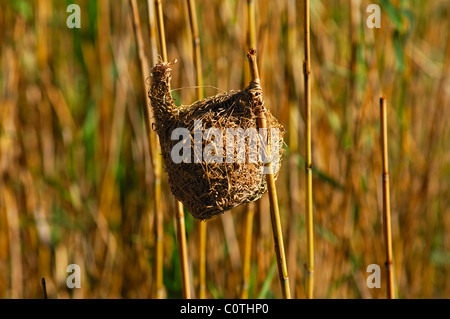 Nest of the Bishop or Orange Weaver (Ploceus aurantius) in the reed, South Africa - Stock Photo