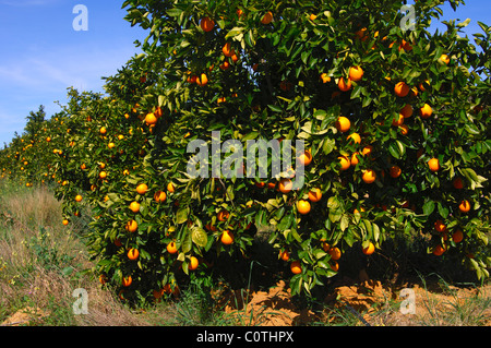Orange tree with ripe fruits on a plantation in Citrusdal, Western Cape province, South Africa - Stock Photo
