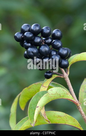 Common Privet (Ligustrum vulgare), twig with ripe berries. - Stock Photo