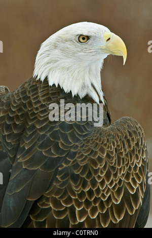 Bald Eagle Haliaeetus leucocephalus North America - Stock Photo