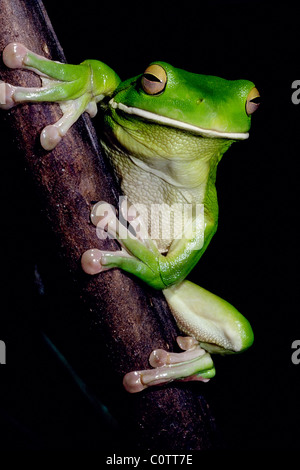 White-lipped Green Tree Frog far north tropical Queensland Australia - Stock Photo