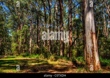 The eucalyptus trees of Sherbrooke Forest, Dandenongs, Victoria Australia - Stock Photo