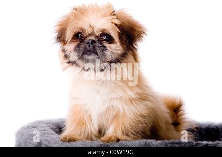 Cute little pekingese dog isolated on white - Stock Photo