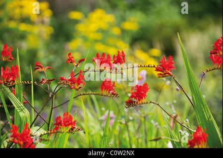 Beautiful Crocosmia Lucifer plant - Stock Photo