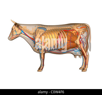 cow internal organs anatomy of the cow organs stock photo royalty free image 2511
