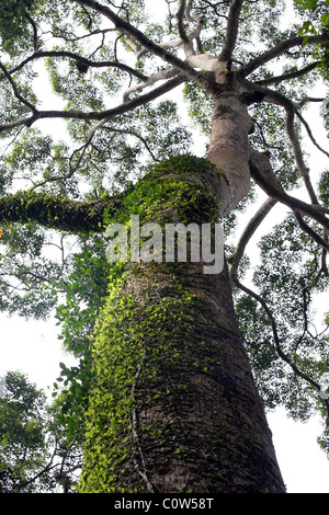 An ancient tree covered in moss in the endangered dipterocarp rain forest of Malaysian Borneo - Stock Photo