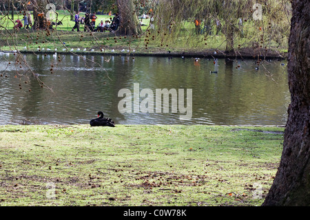 Black Swan Resting by the pond under a Cherry Blossom in Hyde Park Lindon - Stock Photo