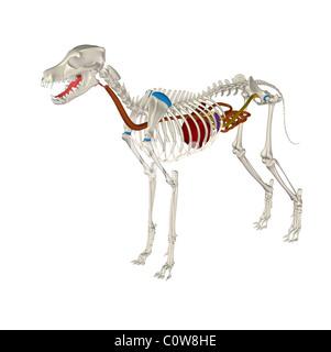 dog anatomy digestion stomach skeleton - Stock Photo