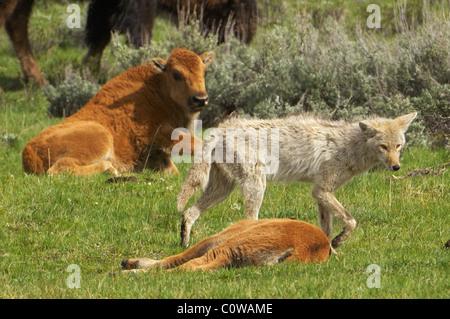 Coyote cruising through buffalo herd. - Stock Photo