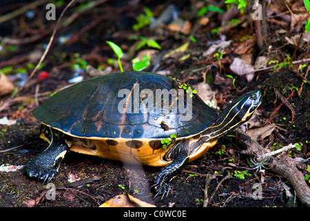 Yellow-bellie slider turtle with ground cover near a lake , Lettuce Lake Park, Tampa, Florida - Stock Photo