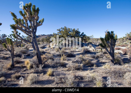 Joshua tree (Yucca brevifolia) in the Mojave Desert, California. - Stock Photo