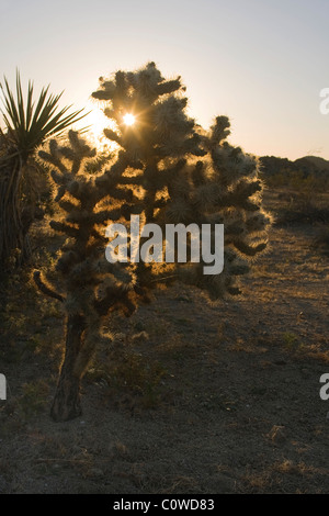 Sunset behind a teddy bear cholla cactus (Opuntia bigelovii) in Joshua Tree National Park, California. - Stock Photo