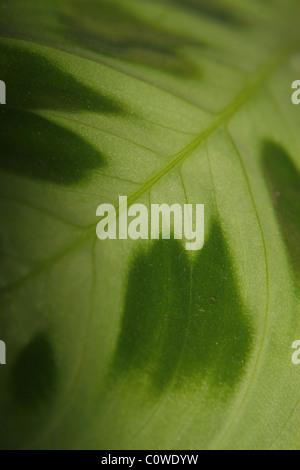 close up of prayer plant leaf, Maranta Leuconeura - Stock Photo