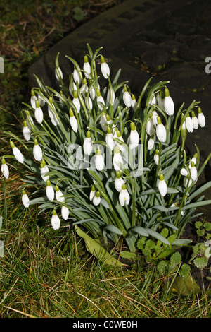 snowdrops growing beside gravestone in Priory Church graveyard, Worksop, Notts Galanthus nivalis - Stock Photo