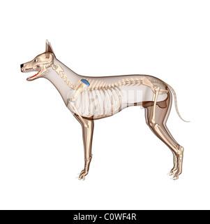 dog anatomy skeleton with transparent body - Stock Photo