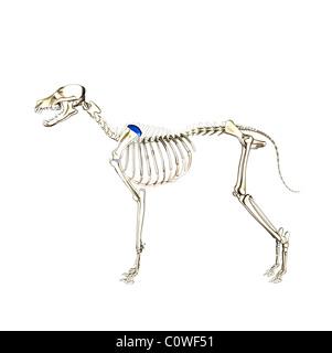 dog anatomy skeleton - Stock Photo