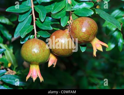 Pomegranate (Punica granatum) fruit growing on a tree - Stock Photo