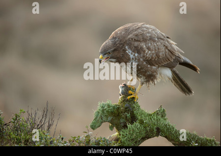 Common Buzzard (Buteo buteo) standing on mossy branch with fresh prey in its talons, Netherlands. - Stock Photo