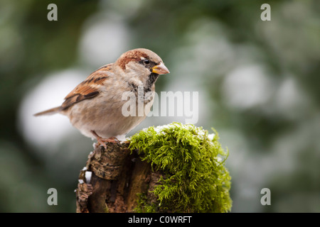 House Sparrow (Passer domesticus) adult male, perched on mossy tree stump, Norfolk, UK. - Stock Photo