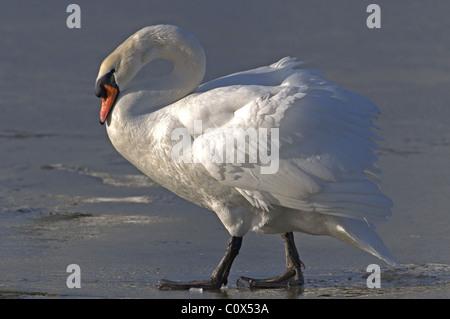 MUTE SWAN CYGNUS OLOR  WALKING ON ICE WINTER UK - Stock Photo