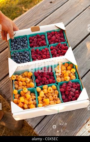 Flat of organic fruit in baskets: blueberries, raspberry  golden raspberries Sitting on wooden picnic table, hand - Stock Photo