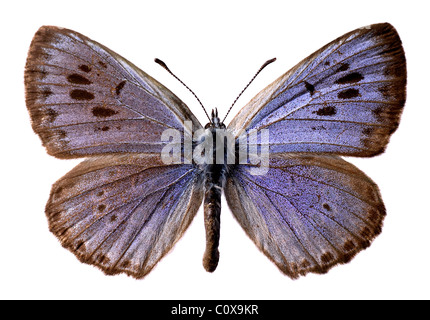 Isolated large blue butterfly (Maculinea arion) on white background - Stock Photo