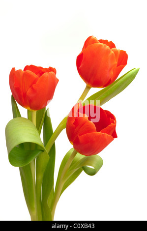 bunch bouquet of tulip flowers - Stock Photo